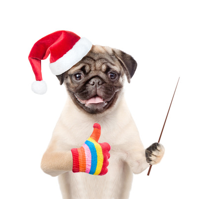 christmas hat: Pug puppy in red christmas hat holding a pointing stick and showing thumbs up. isolated on white background. Stock Photo