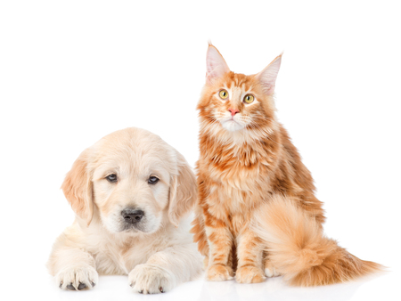 cat isolated: Golden retriever puppy and red maine coon cat. isolated on white background.