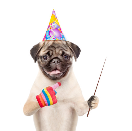 carlin: Pug puppy in birthday hat holding a pointing stick and points away. isolated on white background.