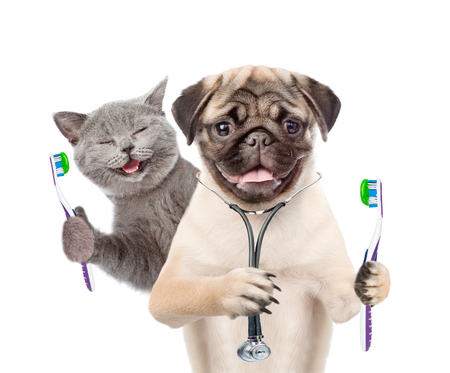 Pug puppy with stethoscope on his neck and happy kitten holding a toothbrushes. isolated on white background.