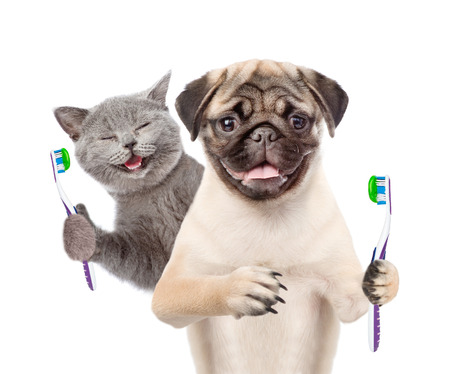 Happy kitten and pug puppy holding a toothbrushes. isolated on white background.