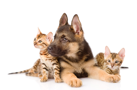 German shepherd puppy and two bengal kittens together. isolated on white background. Stock Photo