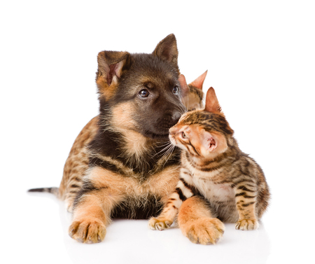 prionailurus: Bengal kitten playing with German shepherd puppy. isolated on white background.