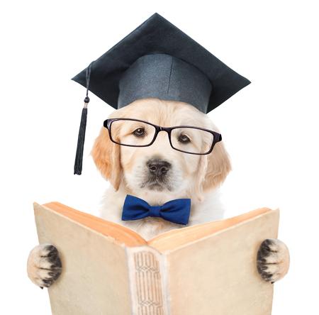 educadores: Cachorros de Golden retriever con sombrero negro de la graduación de leer un libro. aislado sobre fondo blanco.
