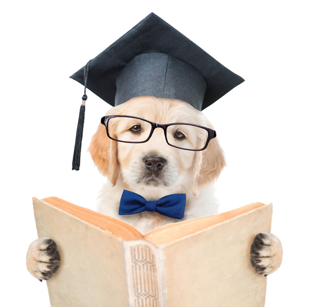 Golden retriever puppy with black graduation hat reading a book. isolated on white background.
