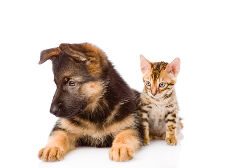 Bengal cat and german shepherd puppy dog together. isolated on white background.