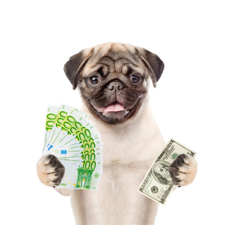 carlin: Puppy holding dollar and euro in their hands. isolated on white background.