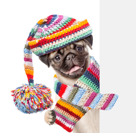 perros vestidos: Pug puppy wearing a scarf and warm hat peeking from behind empty board. isolated on white background.