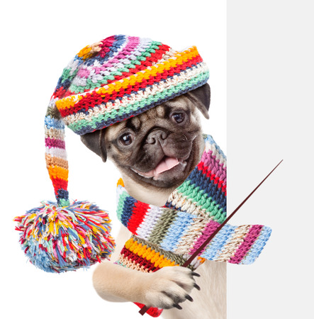Pug puppy wearing a scarf and warm hat holding a pointing stick and points on empty banner. isolated on white background.