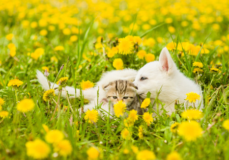 Playful puppy and kitten on a green grass.