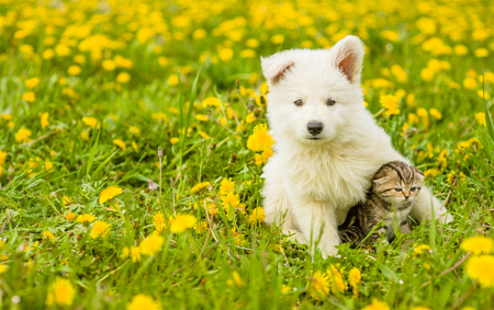 Puppy hugging a tabby kitten on a field of dandelions. Focus on cat.