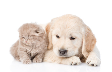 golden retriever puppy: Sad golden retriever puppy and tiny kitten together. isolated on white background. Stock Photo