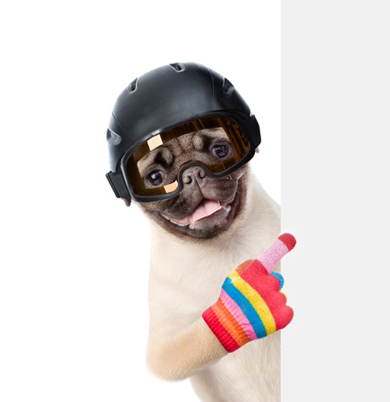 mountain peek: Pug puppy wearing a helmet peeking and pointing at empty board. isolated on white background.