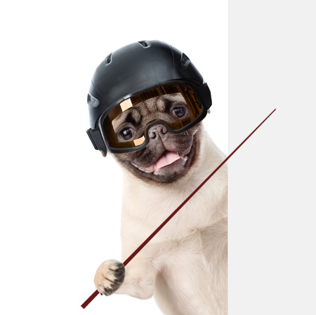 mountain peek: Pug puppy wearing a helmet holding a pointing stick and points on empty banner. isolated on white background. Stock Photo