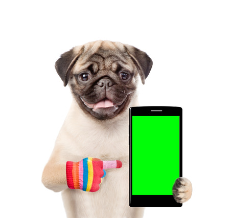 Puppy is pointing to the smartphone in their paws. Isolated on white background.