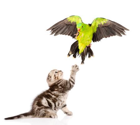 studio zoo: Kitten hunts for parrot. isolated on white background.