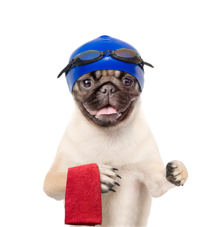 carlin: Dog with swimming hat and glasses holding towel. isolated on white background. Stock Photo
