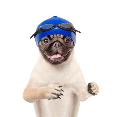 birretes: Perro con el sombrero y las gafas de natación. aislado en el fondo blanco. Foto de archivo
