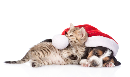 white playful: Basset hound puppy in red santa hat and playful kitten. isolated on white background.