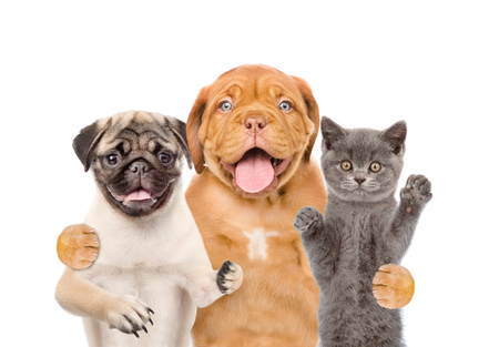 carlin: Group of pets - cat and dogs. isolated on white background. Stock Photo