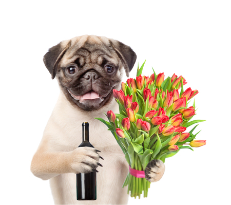 Puppy with a bouquet of tulips holding bottle of a wine. isolated on white background. Stock Photo
