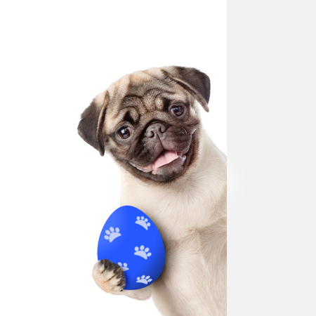 Puppy with colorful Easter egg behind white banner . Isolated on white background.