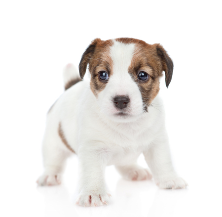Puppy Jack russell looking at camera. isolated on white background. Stock Photo