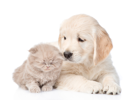 Golden retriever puppy and tiny kitten together. isolated on white background. Stock Photo
