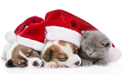 Kitten and a group of sleeping puppies Jack Russell in red santa hats. isolated on white background.
