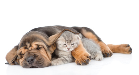 bloodhound: Sleeping bloodhound puppy embracing kitten. isolated on white background.