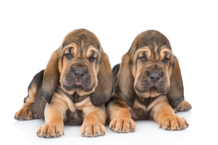 Two bloodhound puppies lying together. Isolated on white background.