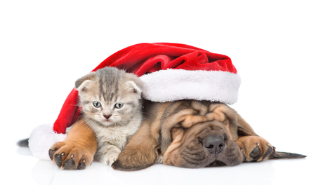 Sleeping bloodhound puppy in red christmas hat embracing kitten. isolated on white background. Stock Photo