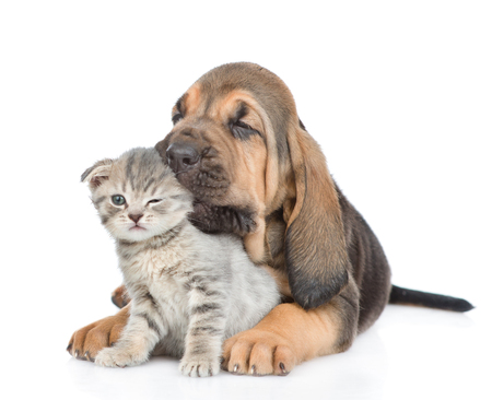 bloodhound: Puppy is chewing the kittens ear. isolated on white background. Stock Photo