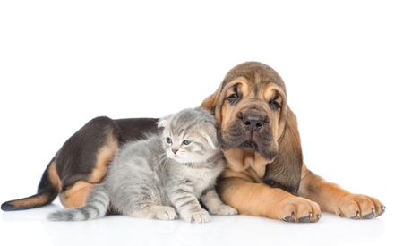 Bloodhound puppy lying with kitten. isolated on white background. Stock Photo