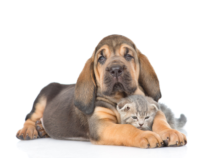 Bloodhound puppy embracing kitten. isolated on white background.