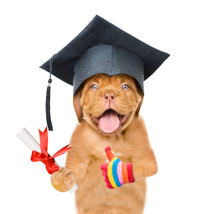 Graduated dog with diploma showing thumbs up. isolated on white background. Stock Photo