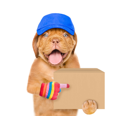Funny dog in cap delivering a big package and points index finger. isolated on white background. Stock Photo