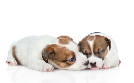 Puppy licks his brothers nose. isolated on white background.