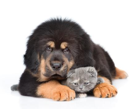 Puppy of a Tibetan mastiff hugs a little kitten. isolated on white background. Stock Photo