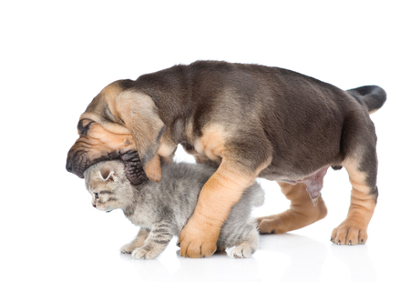 bloodhound: Bloodhound puppy bites the kitten. isolated on white background. Stock Photo