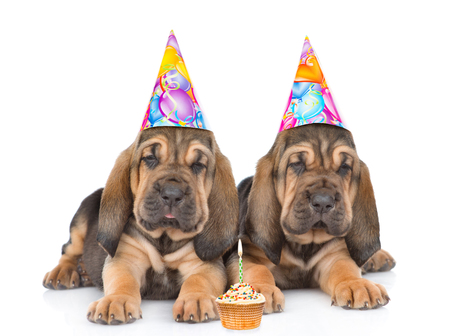 Two bloodhound puppies in birthday hats with cake lying together. Isolated on white background.