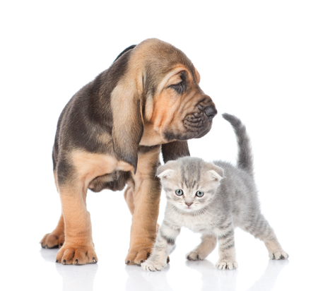 Bloodhound puppy and kitten standing together. isolated on white background. Stock Photo