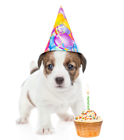 Puppy Jack russell in birthday hat with cake looking at camera. isolated on white background.