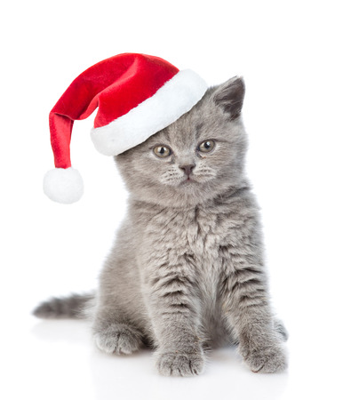 christmas pussy: Scottish kitten in red christmas hat looking at camera. isolated on white background. Stock Photo