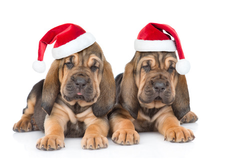 Two bloodhound puppies in red hats lying together. Isolated on white background.