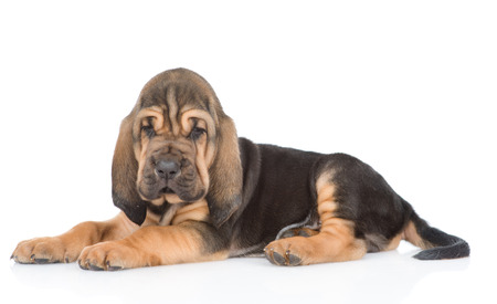 Bloodhound puppy lying in side view. isolated on white background. Stock Photo