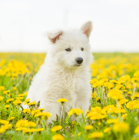 White Swiss Shepherd`s puppy sitting on dandelion field. Stock Photo