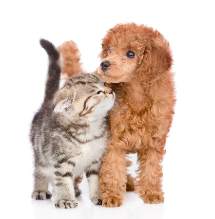 white playful: Playful cat and poodle puppy together. isolated on white background.