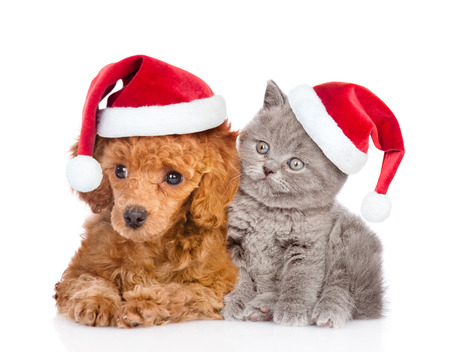 Poodle puppy and tiny kitten in red christmas hats. isolated on white background.