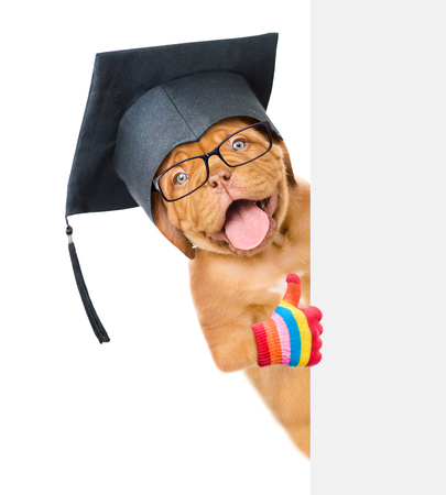 graduated: Dog with black graduation cap peeking above white banner and showing thumbs up. isolated on white background. Stock Photo